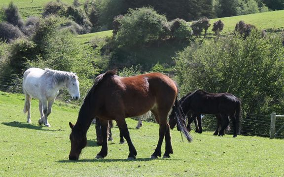 Horses grazing in South Otago