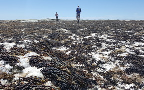 Dead seaweed litters the shore of the Kaikoura Peninsula.