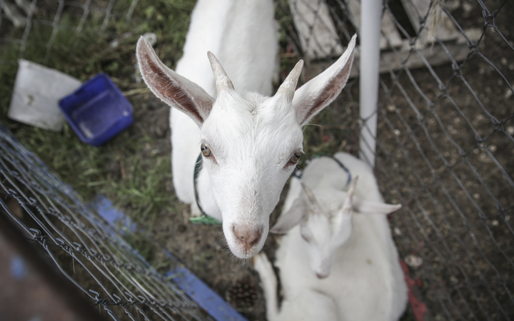 Goats from the farm of Kaikoura Cheese.