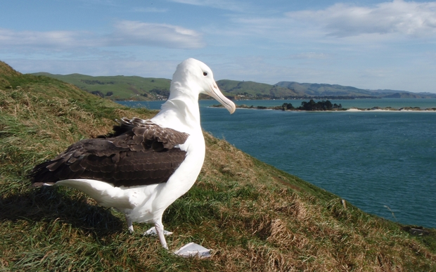 The albatross spends several years away feeding in South American waters before returning to Taiaroa Head to find a mate.