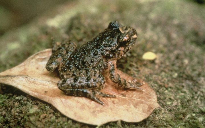 The Hochstetter frog is the size of your thumb