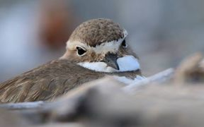 Close up, Female Banded Dotterel