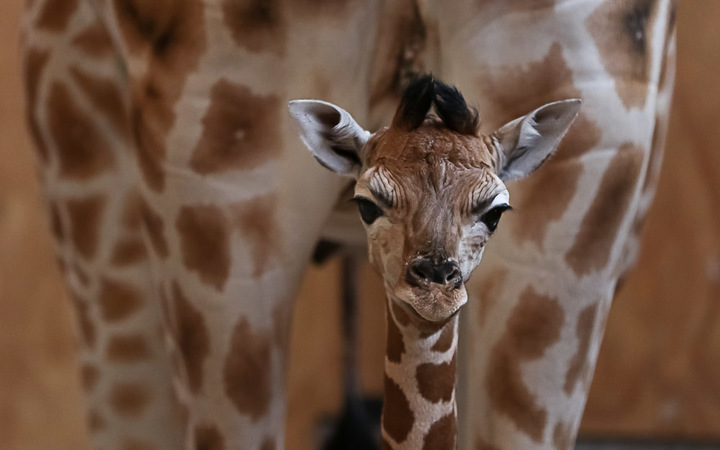 The female giraffe calf stands in front of her mother Kiraka.