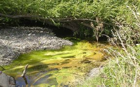 Toxic algae can choke rivers which have a high concentration of nutrients.
