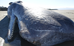 The dead sperm whale on Rabbit Island.