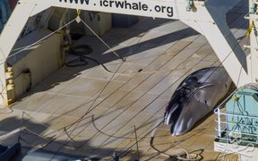 Protected Antarctic minke whale on the deck of the factory whaling ship, Nisshin Maru.