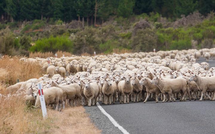 Domba di Selandia Baru