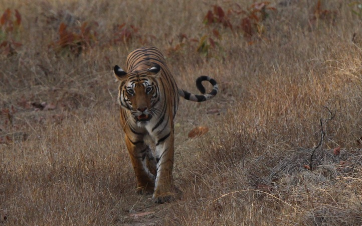 Female Tiger, Bandhavgarh