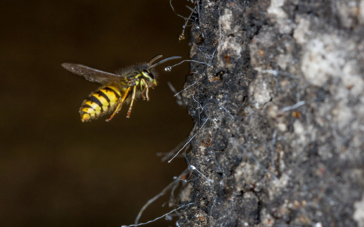 A wasp approaches a honeydrew droplet from a scale insect.