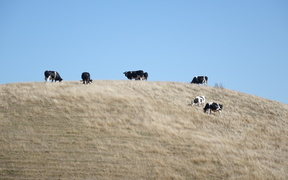Cattle on a hill, Hawke's Bay.