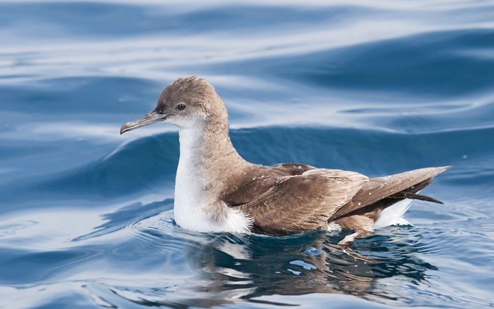 At least five fluttering shearwaters may have been shot dead.