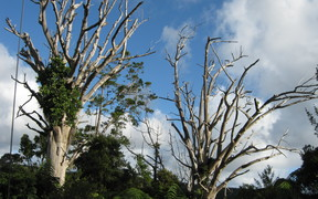 Dead kauri trees, infected with kauri dieback, at Trouson Kauri Park
