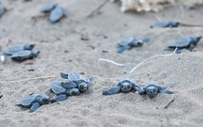 Hundreds of dead Loggerhead turtle hatchlings have been found at Mon Repos beach.