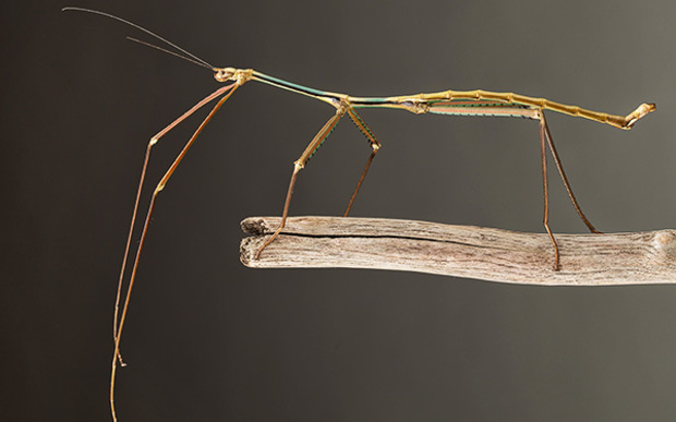 This giant stick insect - Phryganistria tamdaoensis - is common in the town of Tam Dao but escaped notice until now.