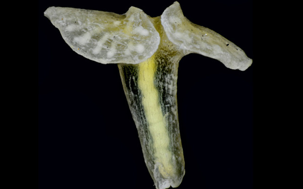 Dendrogramma enigmatica - a mysterious marine creature from Australia that may be an entirely new phylum of animals, somehow related to jellyfish and comb jellies.
