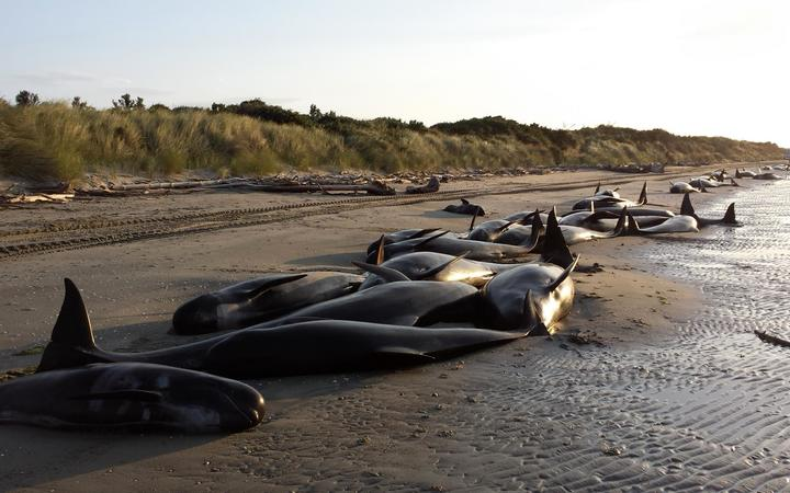 416 pilot whales have stranded at Farewell Spit (file photo).