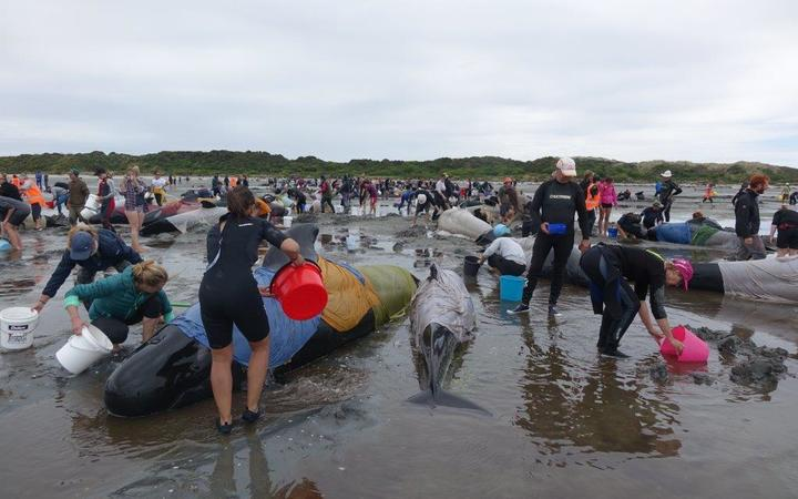 Hundreds of volunteers have been working since early yesterday to keep the stranded whales alive and re-float them.