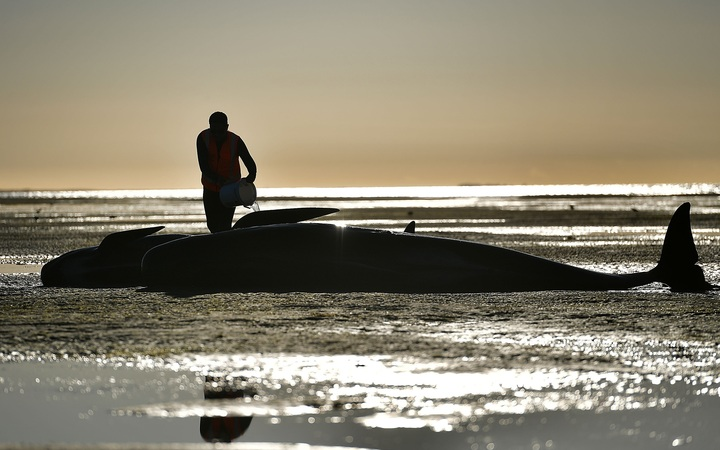 Hundreds of Stranded New Zealand Whales Swim Free