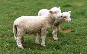 The Uruguay round increased the amount of lamb New Zealand could export to the UK to 228,000 tonnes.