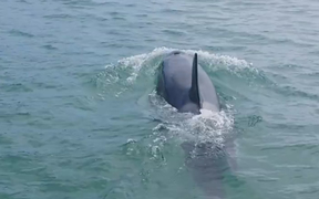 One of the killer whales that surrounded diver Hamish Stewart off Rangipukea Island.