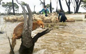 A herd of sheep was loaded onto a dinghy in Newdegate as a fox also sought higher ground.