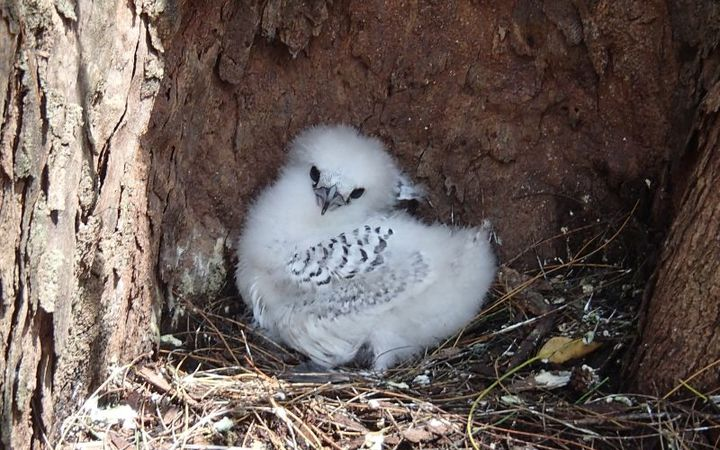 A white-tailed tropicbird chick.