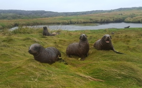 The windswept Auckland Islands are the New Zealand sea lions' main breeding grounds.