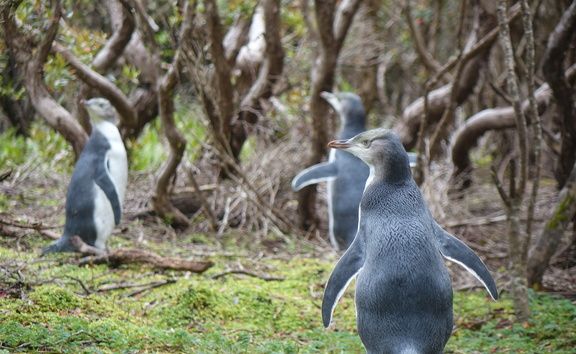 Penguins at the Auckland Islands