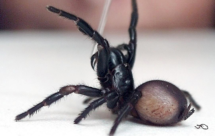 A deadly funnel-web spider is milked for its venom at the Australian Reptile Park in Sydney.