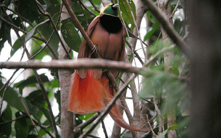 A Bird of Paradise  in Papua New Guinea.