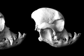 Bulldog Skulls over time becoming increasingly deformed due to selective breeding