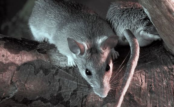 A Brooklyn renter says she is living with rodents because she can't afford to move. Photo: 123RF