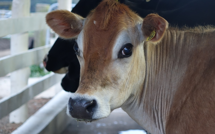 Jersey cow (dairy)