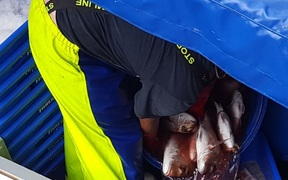 man in  wet gear overalls lifts fish into plastic  boxes