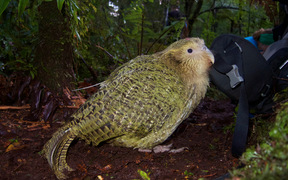 kākāpō with transmitter