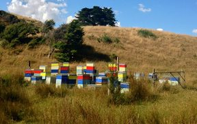 Beehives in Waikato