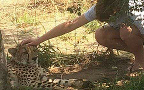 Cheetah attacks Christchurch boy Isaac Driver in South Africa.