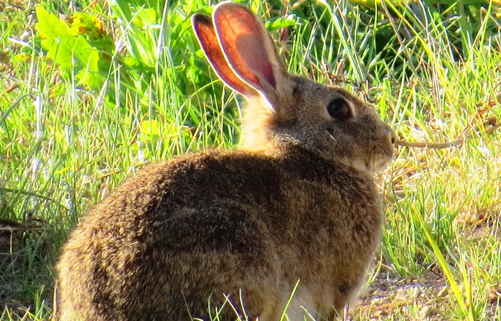 A file photo shows a rabbit in the grass in an unspecified part of New Zealand