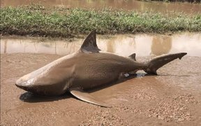 A bull shark washed up in Ayr, Queensland, following flooding in the aftermath of Cyclone Debbie