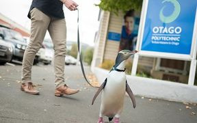 Photoshopped image of a penguin being walked on a leash