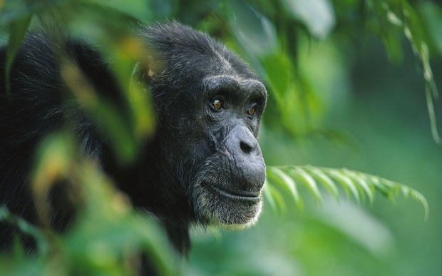 chimpanzee in the trees in Guinea