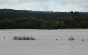 Floating silage bales at Roy Allen's Galatea farm.