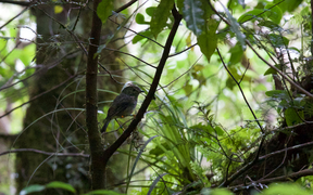 A North Island robin in the Mt Taranaki bush
