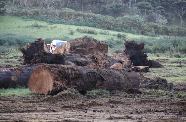 Kauri logs unearthed from peat await sale.
