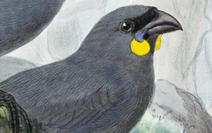 While the North Island kōkako has blue wattles, the South Island species had, or has, orange wattles.