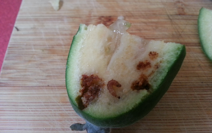 A feijoa grown in Devonport in Auckland which has been affected by guava moth larva.