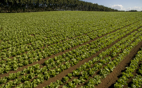 Lettuce crops being grown in market gardens in Pukekohe.