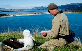 Albatros chick being checked on by DOC