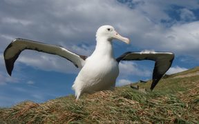 Northern royal albatross returns to Otago Peninsula.