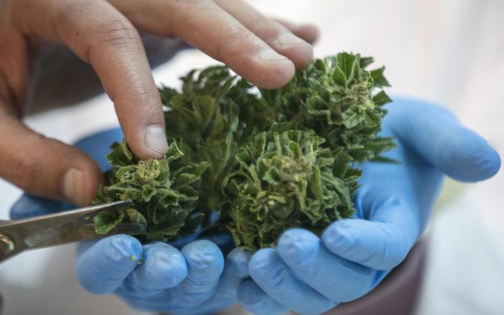 Cannabis referendum part of Greens' deal